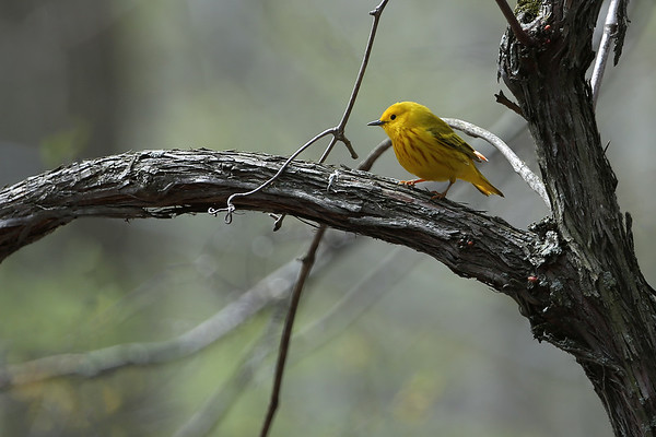 Yellow Warbler at Rondeau Park