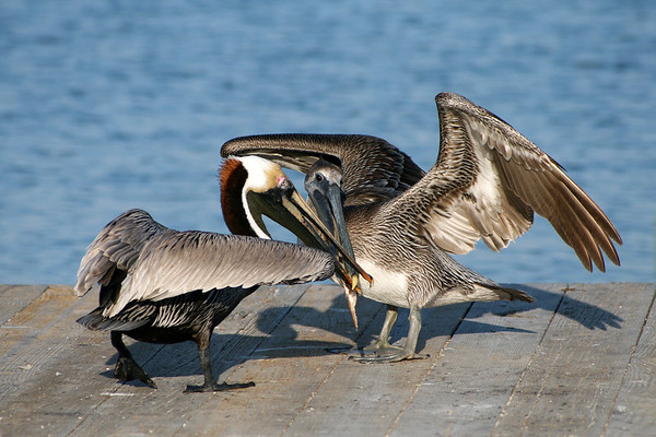 Brown Pelicans fighting over a fish