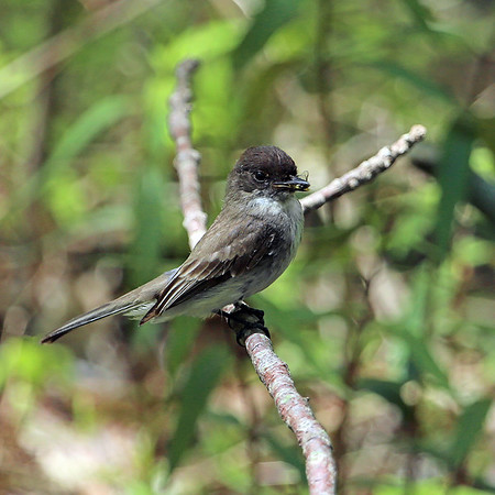 Eastern Kingbird with a snack