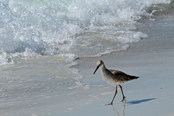 Willet (Large Sandpiper)