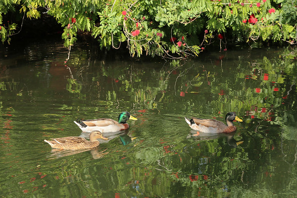 Mallard Ducks in Florida