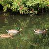 Mallard Ducks in Florida