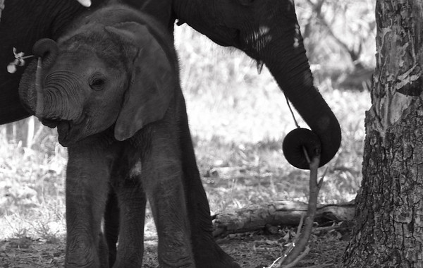 Baby Elephant with a Flower B&W