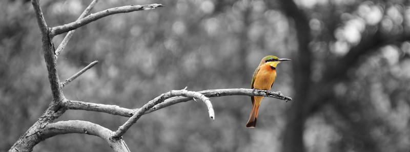 Little Bee Eater B&W