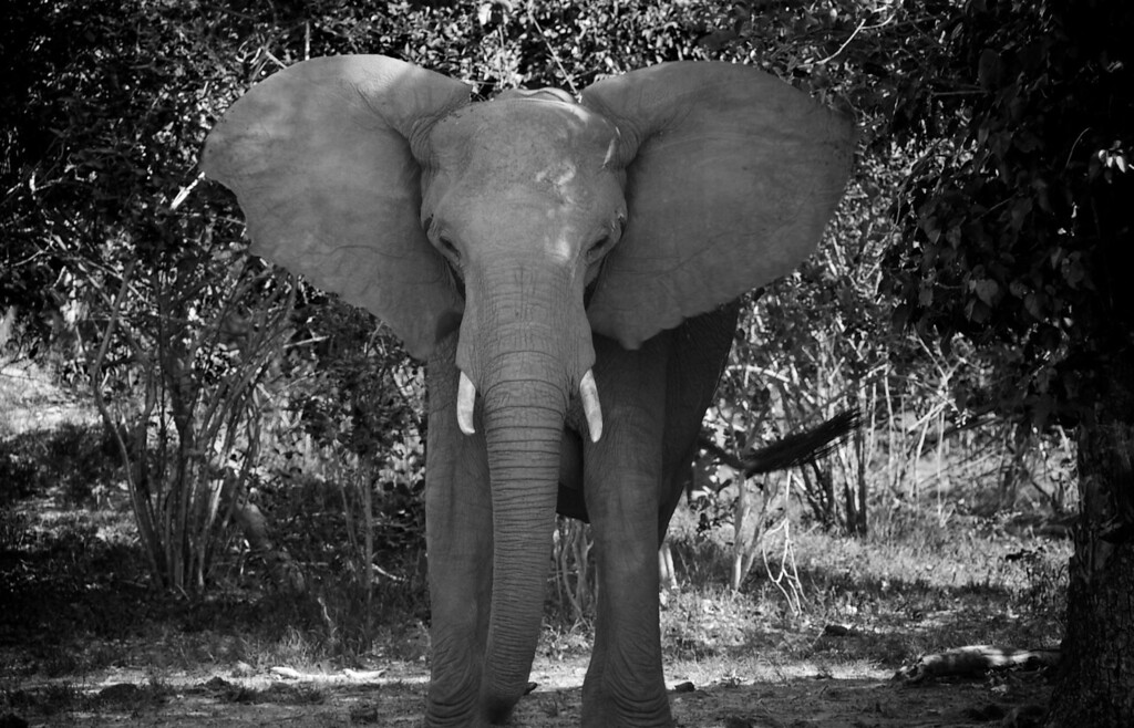 Intimidation from an Elephant B&W