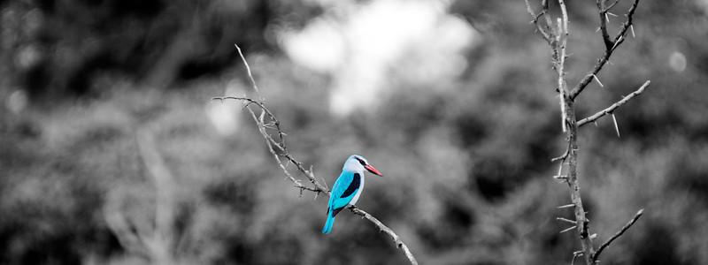 Woodland Kingfisher B&W