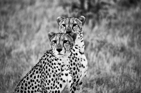 Cheetah Brothers Double B&W