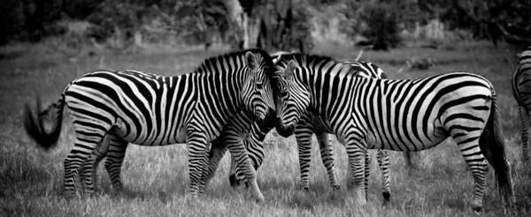 Zebra Heads B&W