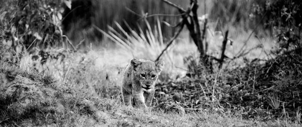 Baby Lion Walk B&W