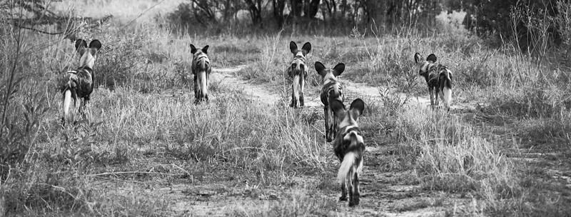Wild Dogs on the hunt B&W