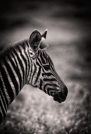 Juvenile Zebra Profile B&W