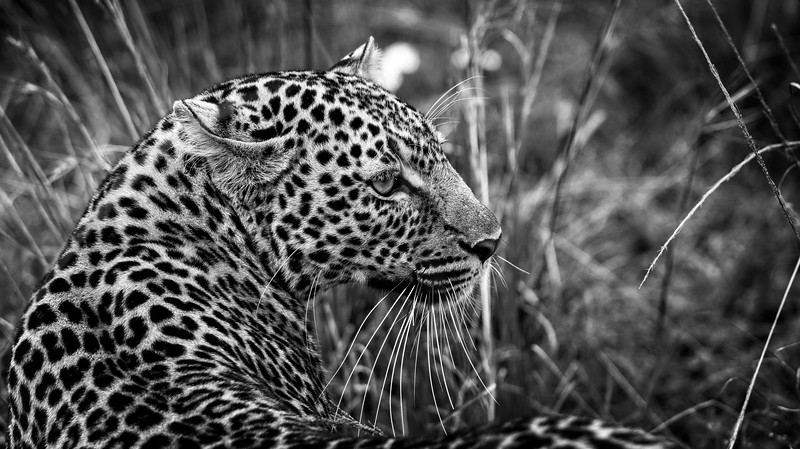 Leopard Looking Back B&W