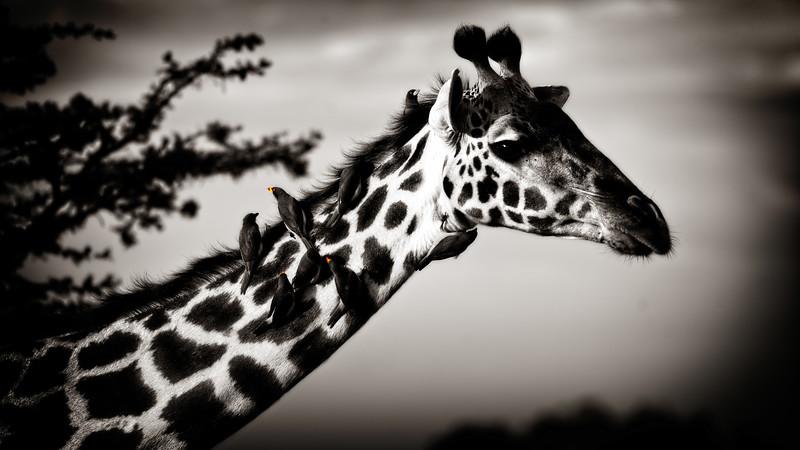 Giraffe Groomers B&W