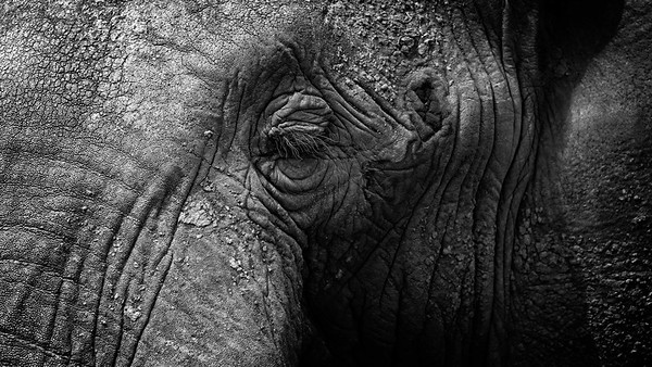 Elephant Eye 1 B&W