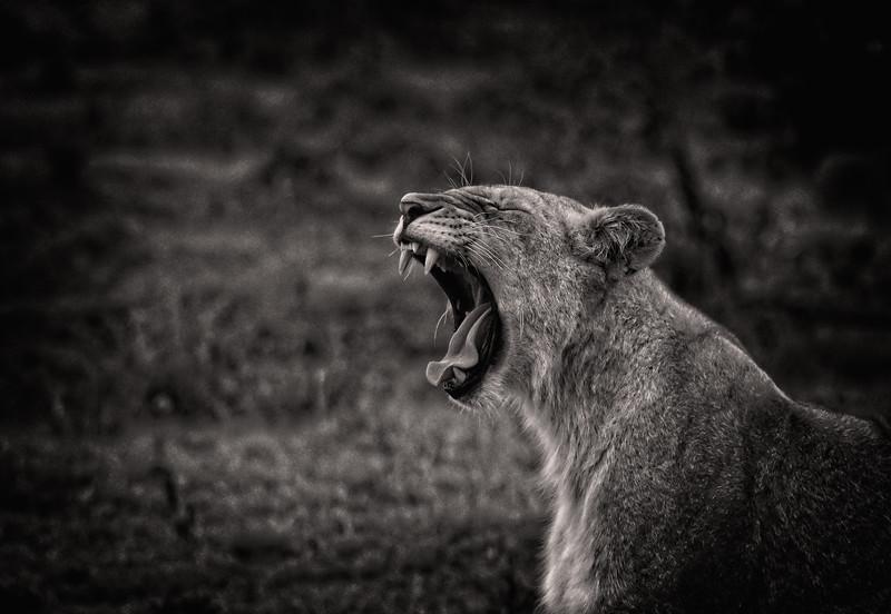 Yawning Female Lion B&W 3