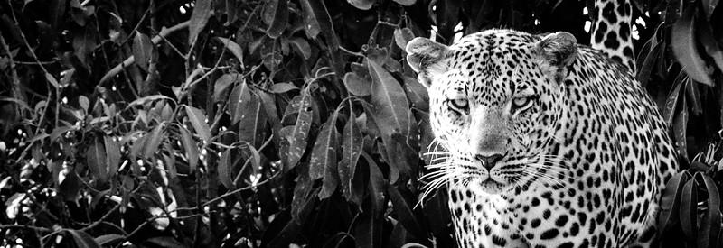 Leopard Eyes B&W