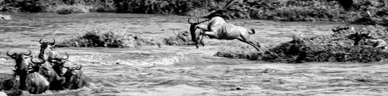 Wiildebeast Mara Jump