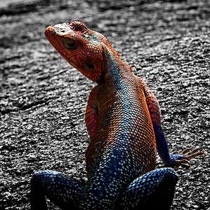 Agama Lizard B&W