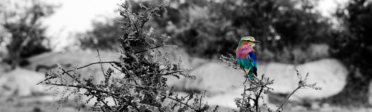 B&W Lilac Breasted Roller