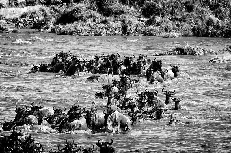 Wildebeast Mara Crossing 1
