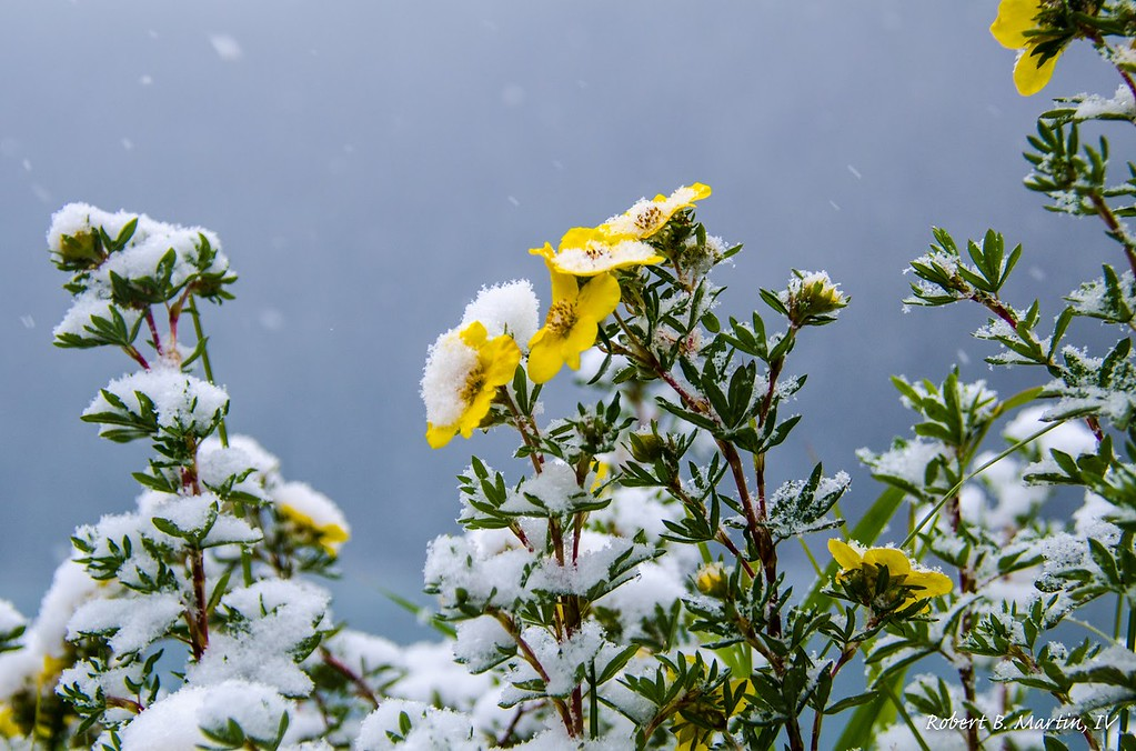 Snow-covered Flowers on Lake Louise
