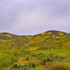 Carrizo Plains Wildflowering '17_329