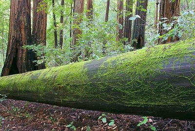 Fallen tree in the Big Basin Redwood State Park, Northern California.