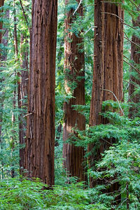 Giant sequoias in the Big Basin Redwood State Park, Northern California.