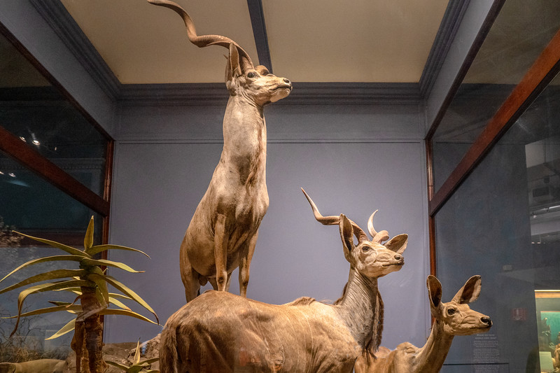 Antelope, an exhibit in the Mammals section of the Field Musuem