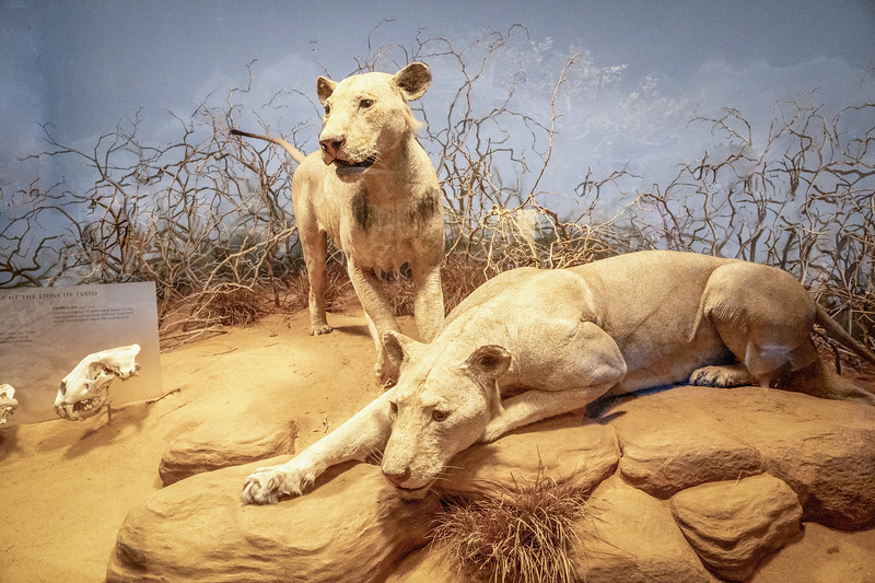Tsavo Lions on display at the Field Museum