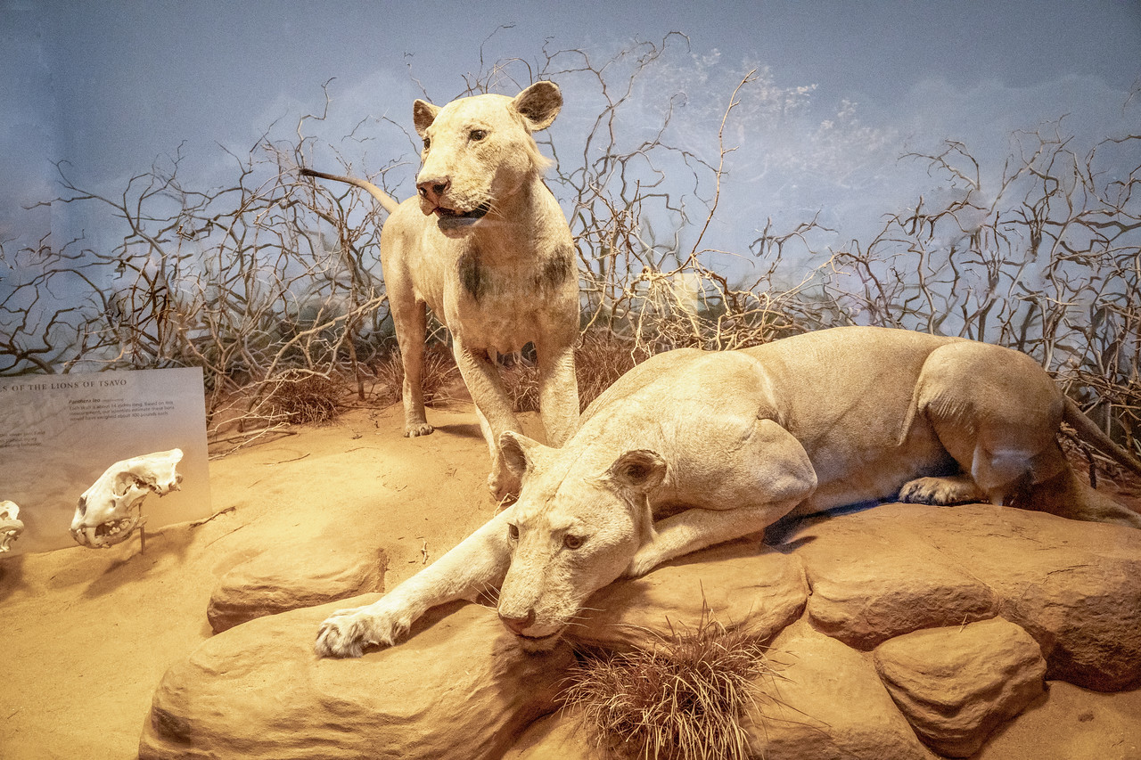 Tsavo Lion dispaly at the Field Musuem