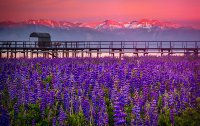 Pier Over Lupine