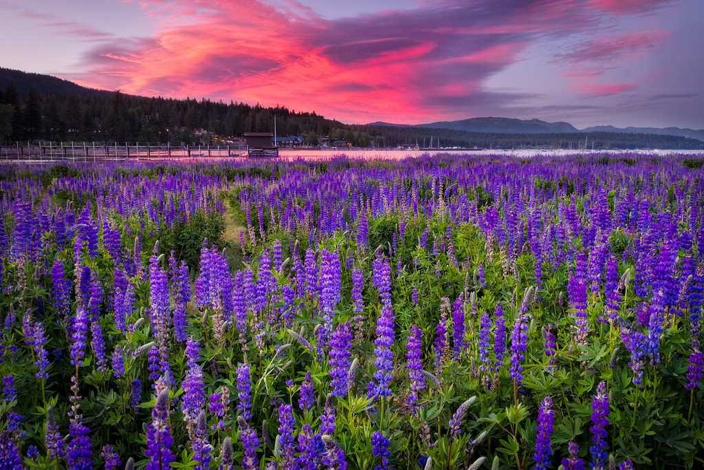 Sunset Lupine