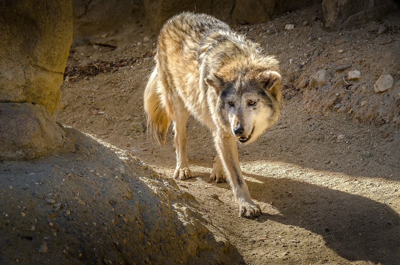 Mexican Wolf at Living Desert