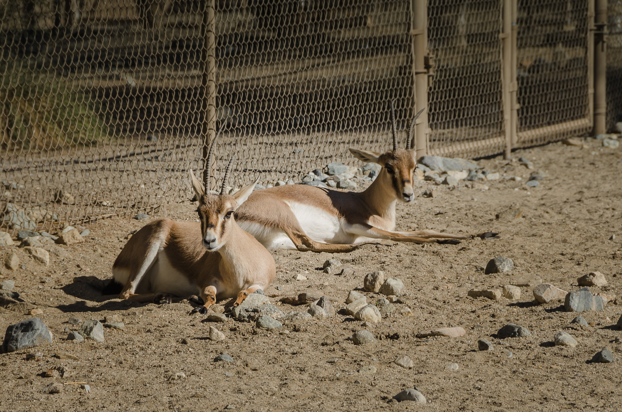 Slender-Horned Gazelles