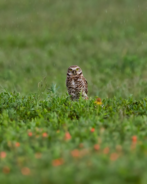 Burrowing Owl Rainstorm Final.jpeg