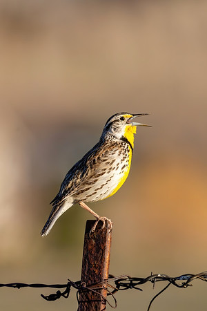 Singing Western Meadowlark