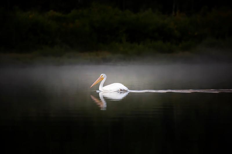 American Pelican.jpg