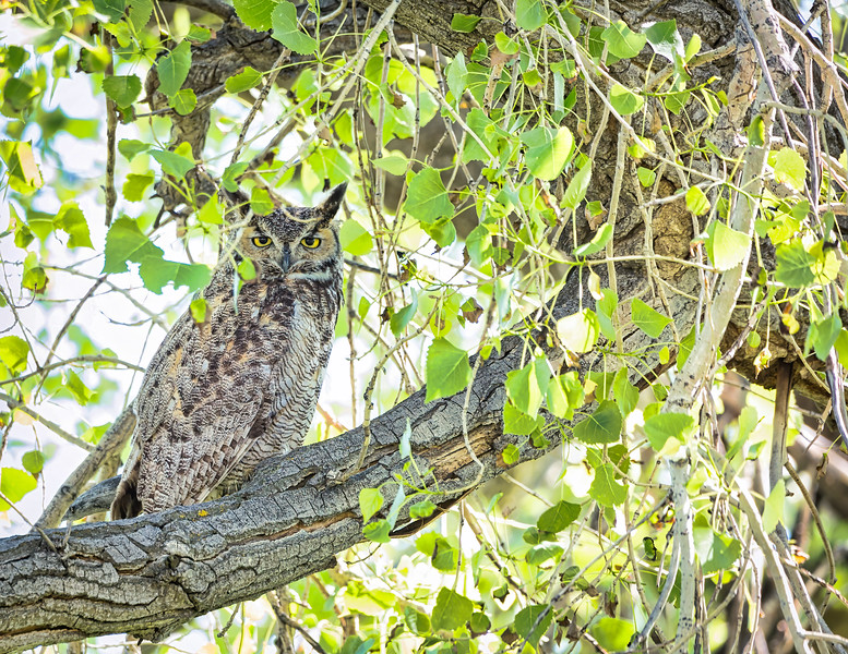 Great Horned Owl Final.jpeg
