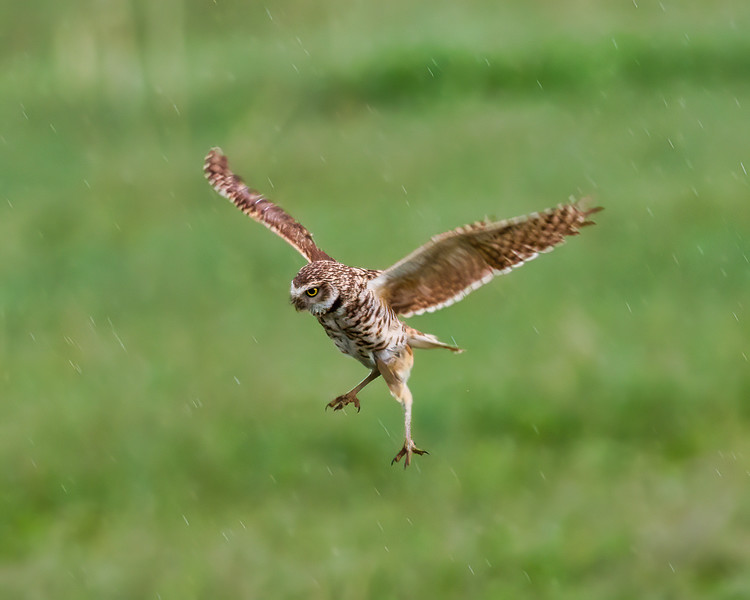 Burrowing Owl Flight.jpeg