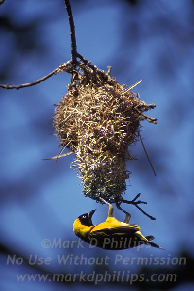 Southern masked weaver (also known as African masked weaver) hangs from the entrance to its nest in Kruger National Park in South Africa.