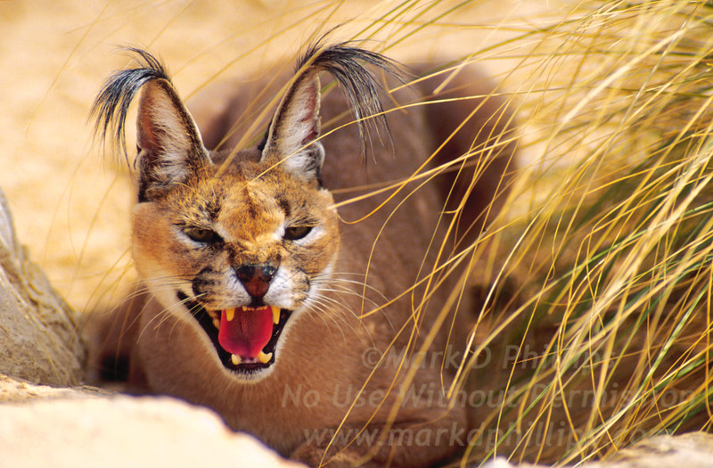 Caracal at Hai Bar, Israel