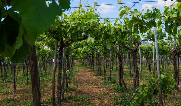 Mount Vesuvius vineyard