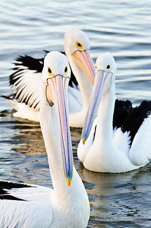 Australian Pelicans at Augusta