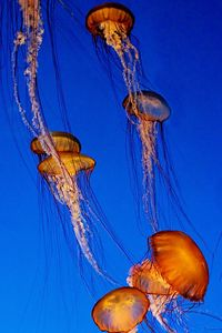 Giant Drifters (jellyfish) at the Monterey Bay Aquarium, California.