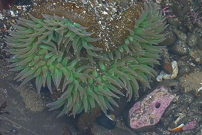 Sea anemone at low tide, Scotts Creek State Beach, California.