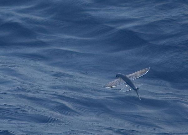 Flying fish, Gulf of Mexico, USA.