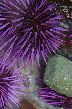 Purple Sea Urchin, Northern California.