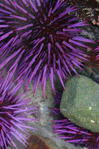 Purple Sea Urchin, Northern California.