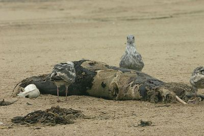 Seal eaten by Gulls, Guadalup Sand Dunes, California.